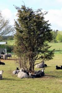 Fårene græsser på engen