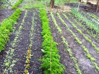 Frisk persille og andet grønt fra Anholt Gartneri